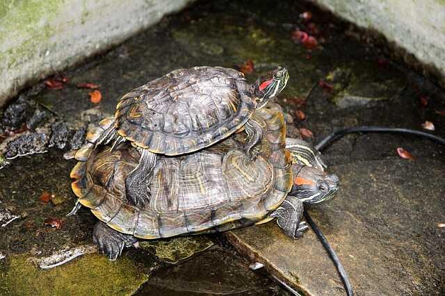 Cómo cuidar a tortugas de Orejas Rojas