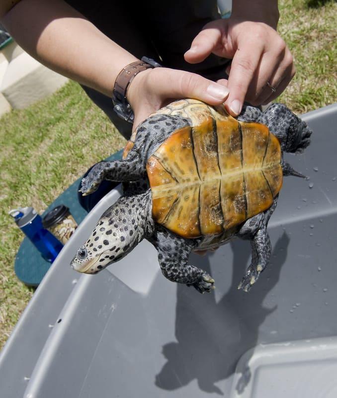Características más comunes de la tortuga dorso diamantino