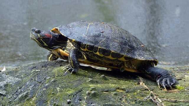 tortuga de orejas rojas esperanza de vida