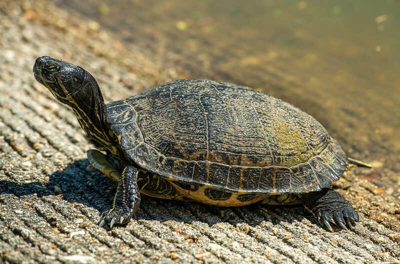 Alimentación de las crías debes de tortugas de orejas amarillas