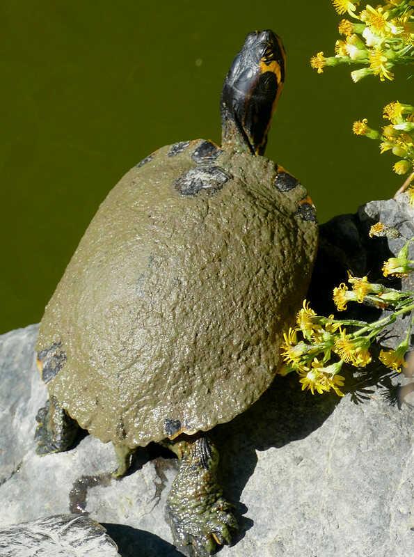 Huevos y las crías  de tortugas de orejas amarillas