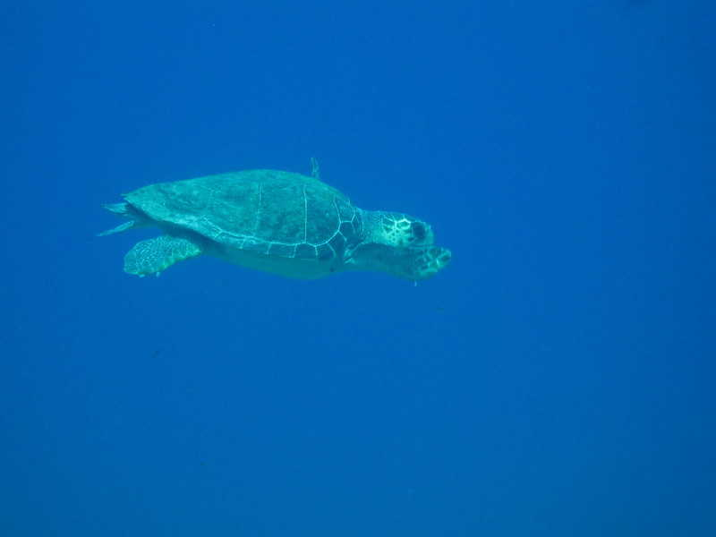 La tortuga cayume especie en peligro de extinción