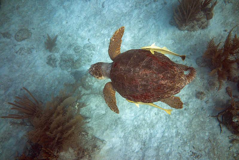 De qué se alimenta la tortuga Boba