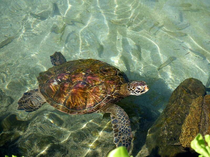 tortuga verde cuántos años puede vivir