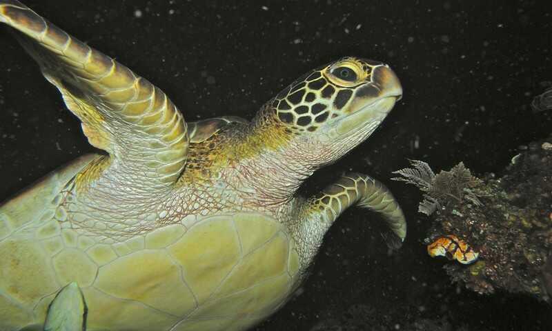 Son tortugas marinas que viven en todo el mundo