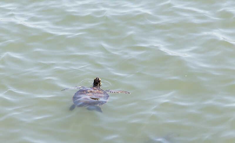 Curiosidades de la tortuga carey