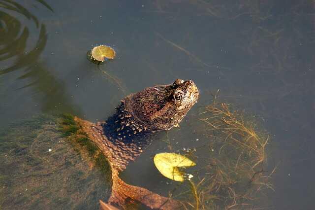 Cuántos años viven y crecen las tortugas de  agua