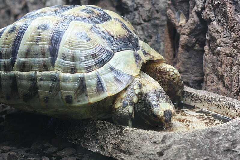 tortuga mora diferencia macho hembra