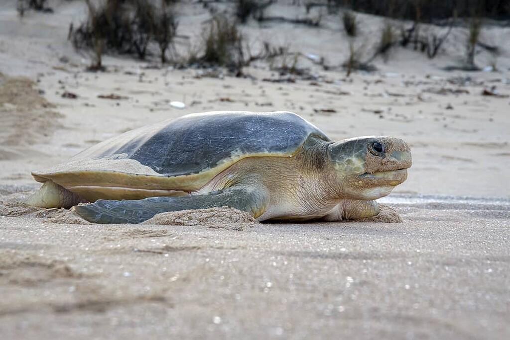 Tortuga Plana Australiana