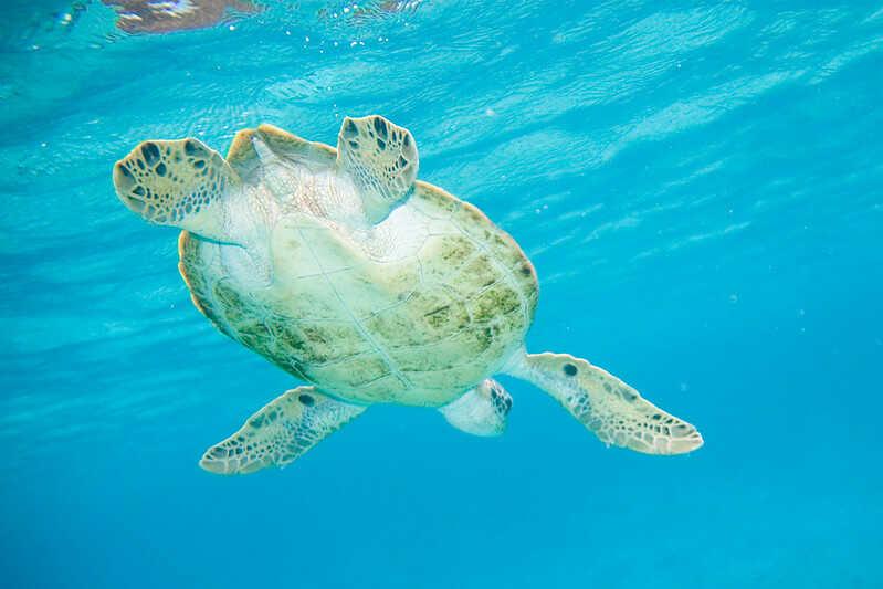 Cuantas Tortugas Verde hay en el mundo