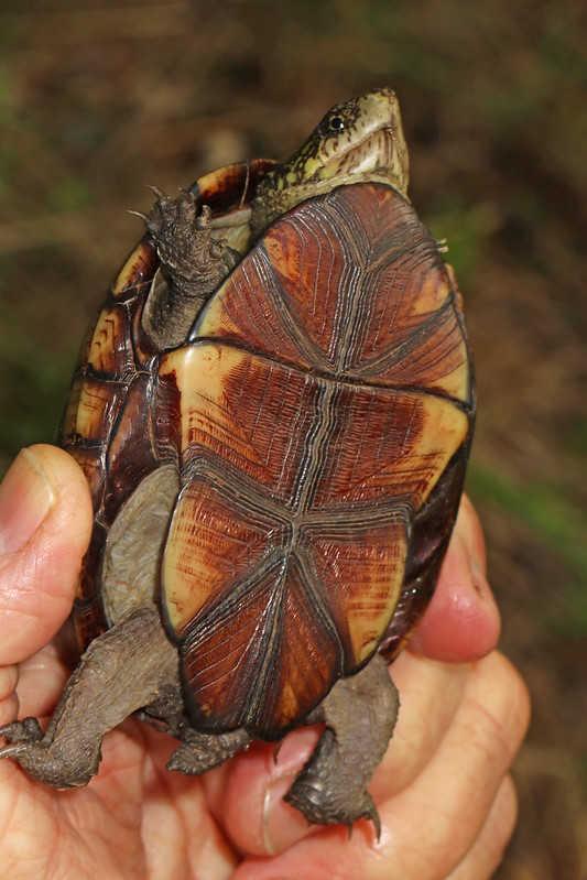 Kinosternon  Gewöhnliche Klappschildkröte