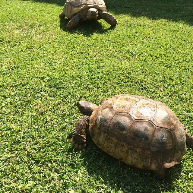 tortuga del bolsón en peligro de extinción