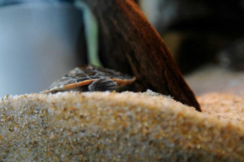 Cría de tortuga Payaso