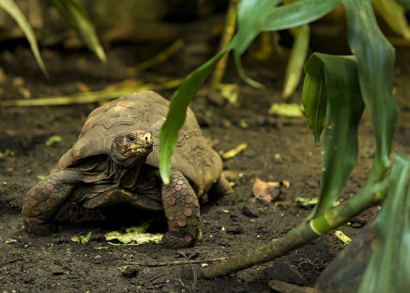 Características de la tortuga morrocoy