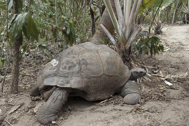 Tortuga gigante de aldabra en  México