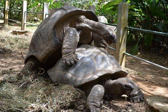 Tortuga gigante de aldabra reproduciendo