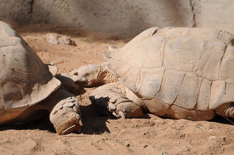 depredadores de la tortuga más grande del mundo