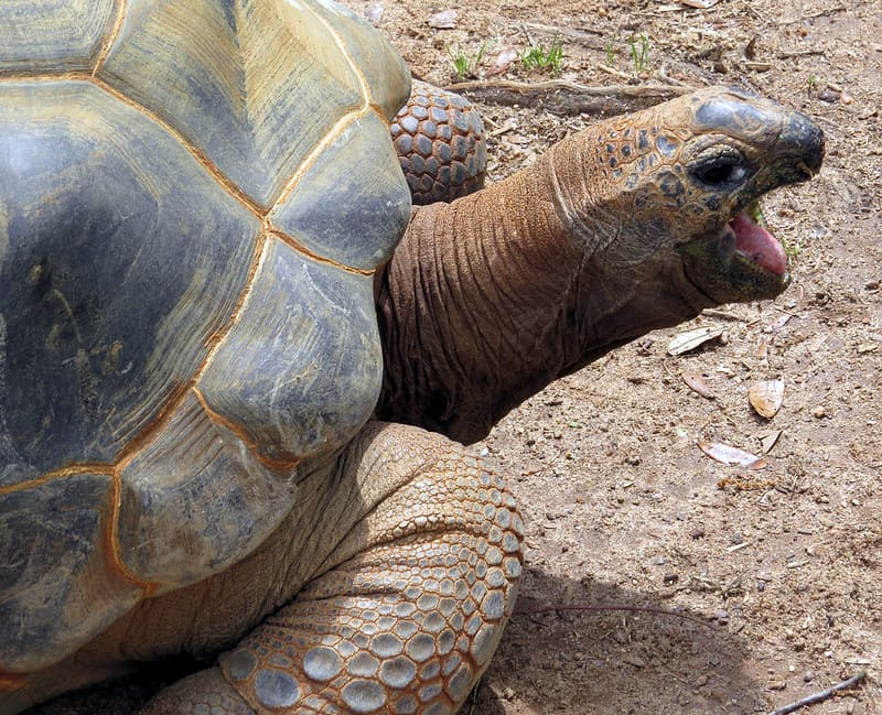 Alimentación de la tortuga de alborada