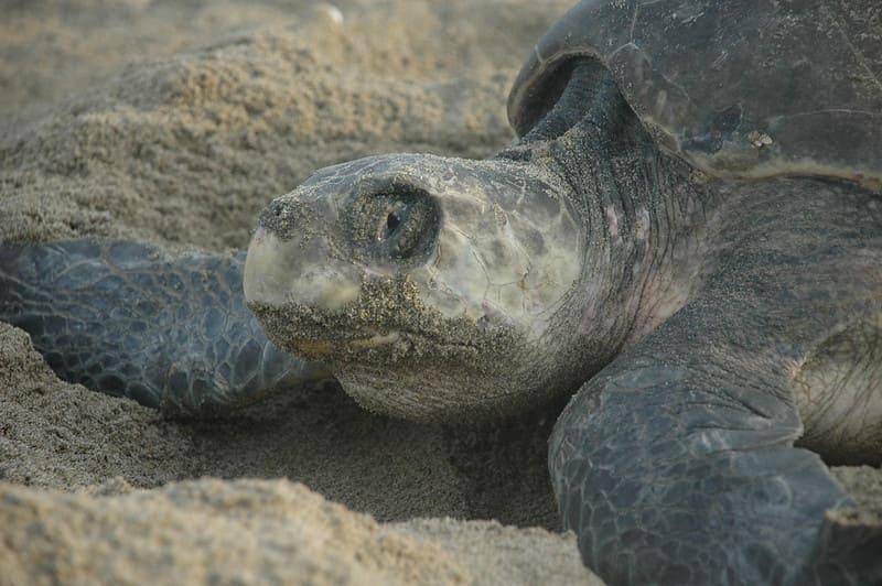 curiosidades sobre la tortuga olivácea
