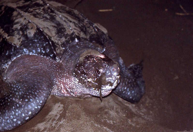 Nombre científico de la tortuga laúd