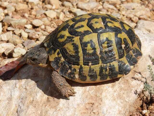 dónde es originaria esta tortuga