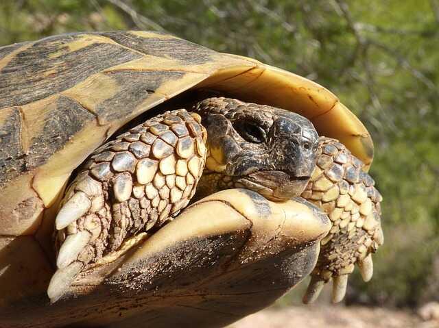 Comportamiento de la tortuga mediterranea europoea