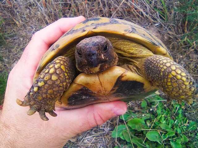 Cómo se reproduce esta tortuga, cortejo y reproducción