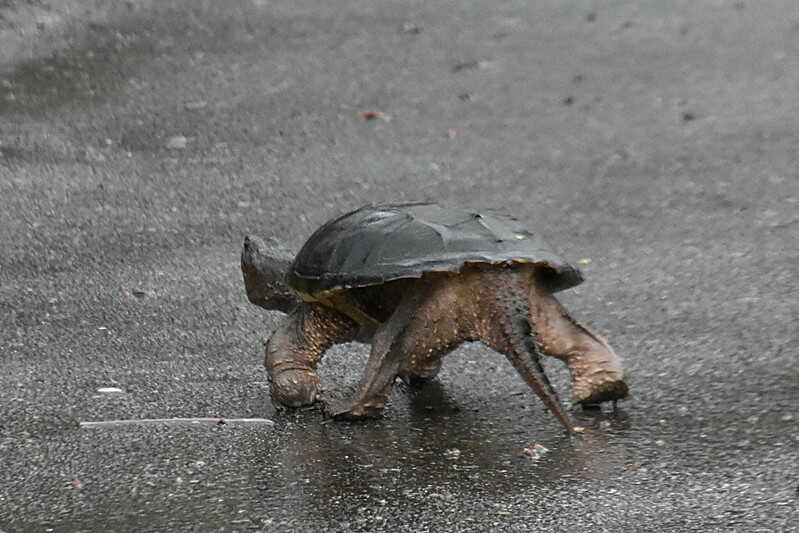 tortuga mordedora caimán cazando
