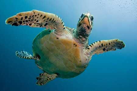 Tortugas marinas y de tierra Tortuga nadando