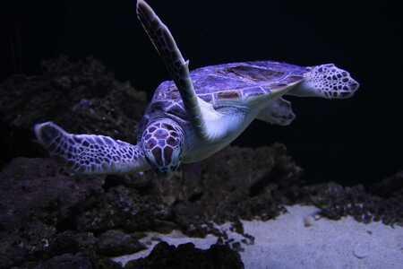 Tortugas marinas y de tierra nadando en le agua  Tortuga Violeta