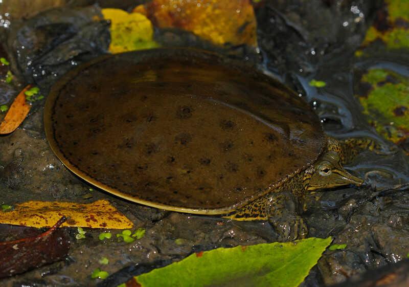Alimentación  tortuga de caparazón blando espinosa