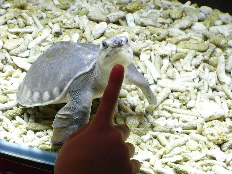 La tortuga nariz de cerdo no es venenosa