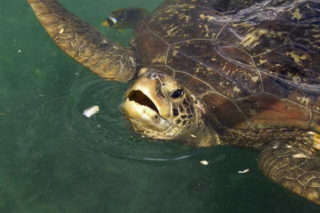 Olfato de las tortugas  gigantes