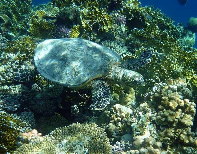 Cómo se desplazan las tortugas Marinas