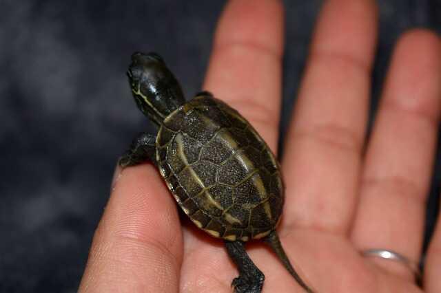Cría de tortuga China