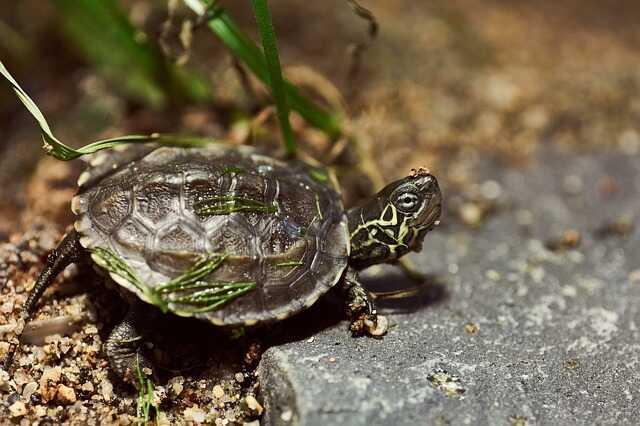 Alimentación de la tortuga china