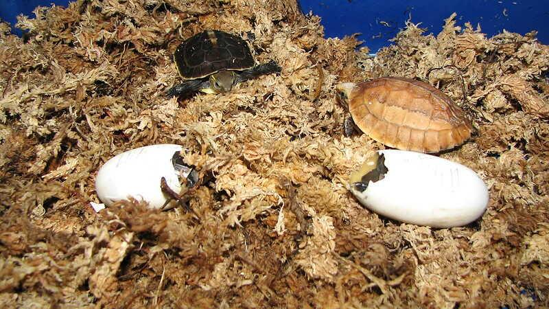 Huevos de tortugas de caja China