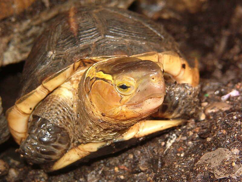 Características de la tortuga de caja China