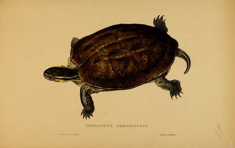 tortuga de caja de Malasia