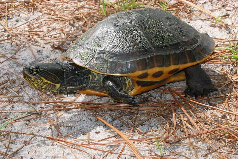Descripción de la tortuga pollo