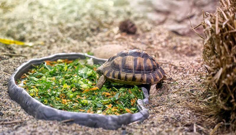 Alimentación  Egyptian tortoise