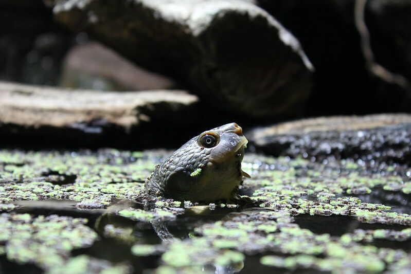 Características más comunes de la tortuga del río de Maria