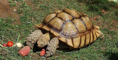 Tortuga Geochelone sulcata gigante