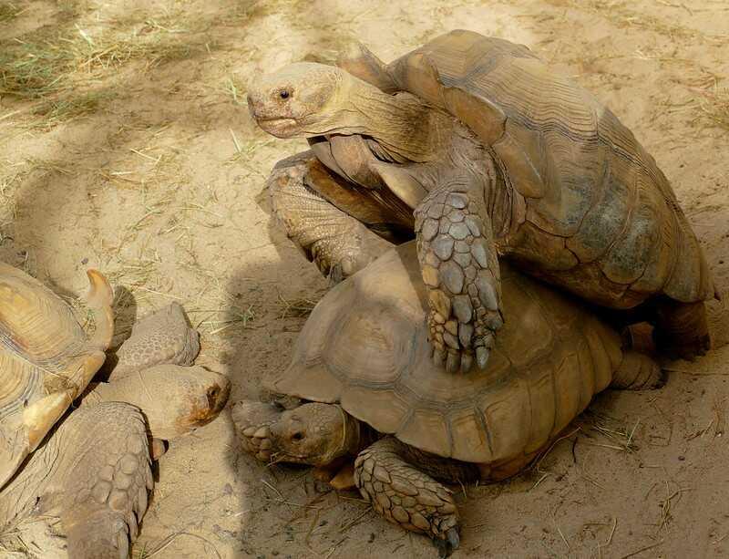 Reproducción y cortejo de la tortuga sulcata