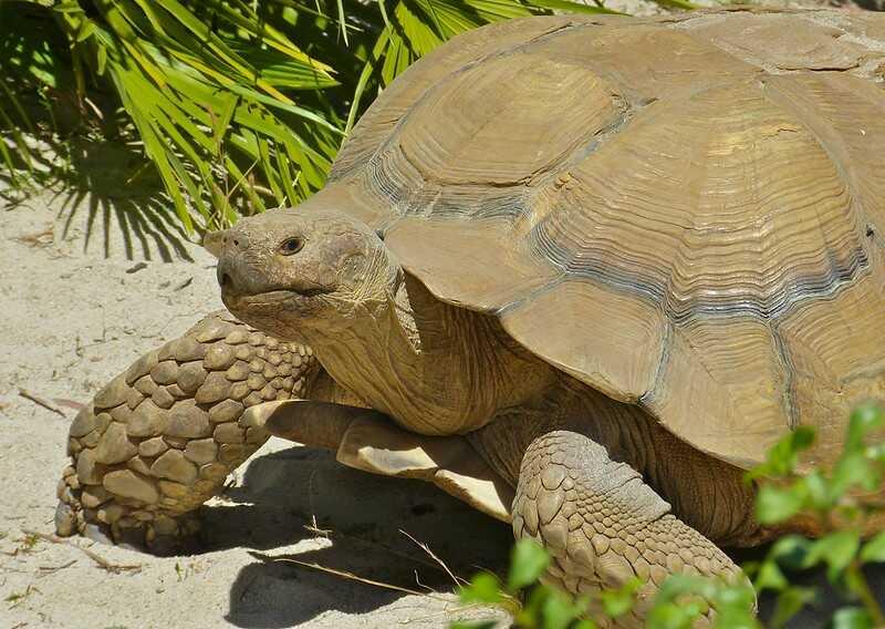 De dónde es originaria la tortuga Sultaca