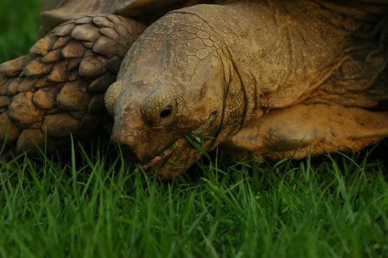 Alimentación de la tortuga Sulcata