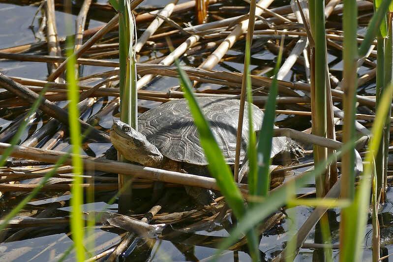 Reproducción de la tortuga Pelomedusa subrufa