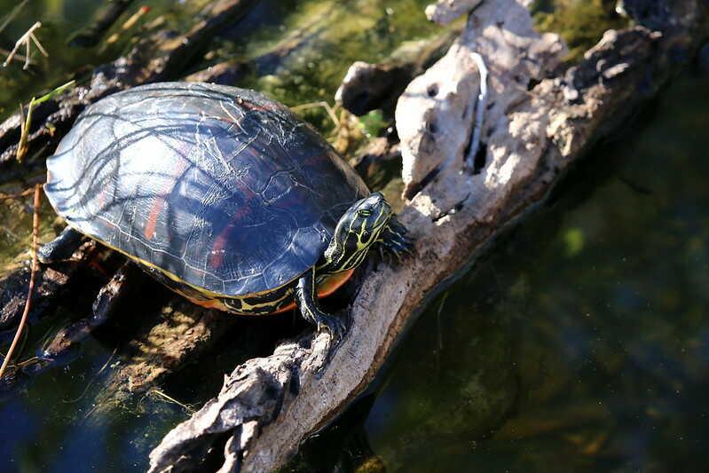 Características  de la tortuga de vientre rojo