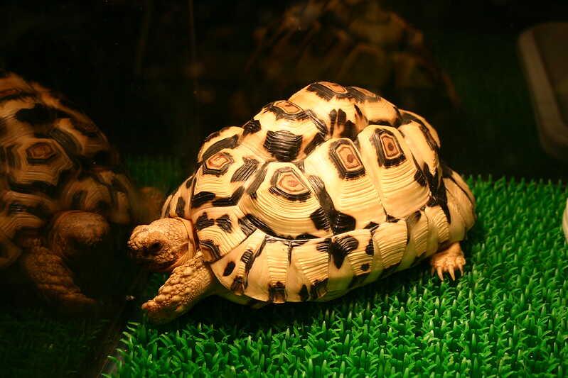 tortuga araña de Madagascar
