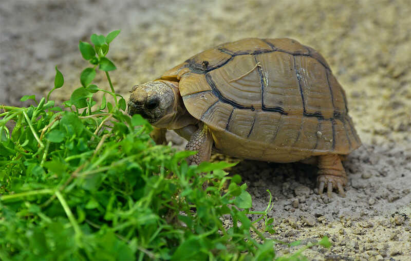 cría de   tortugas egipcias